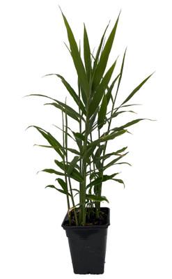 Edible Ginger Root Plant - Zingiber officionale - Quart Pot