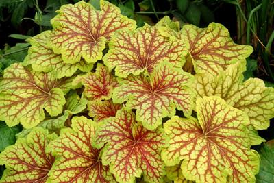 Red Lightning Coral Bells - Heuchera - Shade Perennial - Gallon Pot