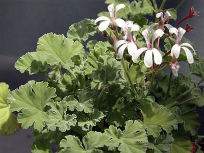 """Old Spice Scented Leaf Geranium - Inside/Out - 4"""" Pot"""