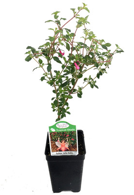 "Lottie Hobby Fuchsia - Indoors/Out/Fairy Garden - Shade - 2.5"" Pot"