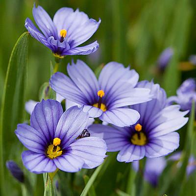 Blue-Eyed Iris Grass - Sisyrinchium - Lucerne - Potted/Native Plant - Quart Pot