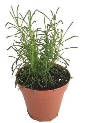 """Green Santolina - 4"""" Pot - Olive Herb Plant - Olive Scent for Cooking"""