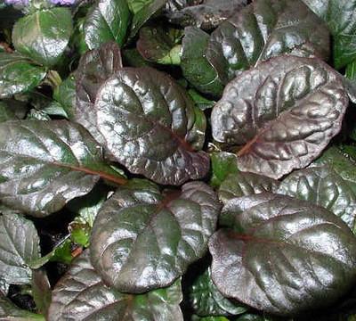 "Catlin's Giant Ajuga - Carpet Bugle - Huge Leaves - 48 Plants - 1 3/4"" Pots"