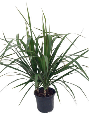 "Madagascar Dragon Tree - Dracaena marginata - 6"" Pot - Easy to Grow House Plant"