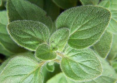 """Greek Oregano Herb - Good Scents - Organum - Live Plant - 3"""" Pot"""