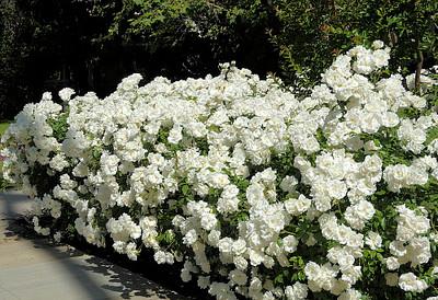 """Iceberg Shrub Rose - 4"""" Pot - Honey Fragrance - Repeat Bloomer"""
