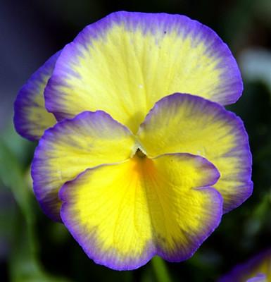 Etain Mountain Violet Perennial - Viola - Shade Lover - Quart Pot