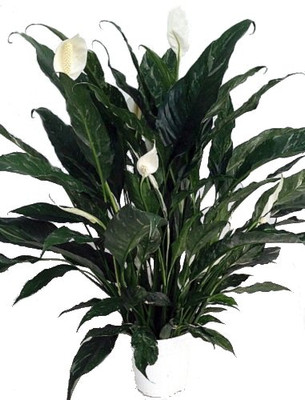 """Domino Peace Lily Plant - Spathyphyllium - NEW - Easy - 6"""" Pot"""