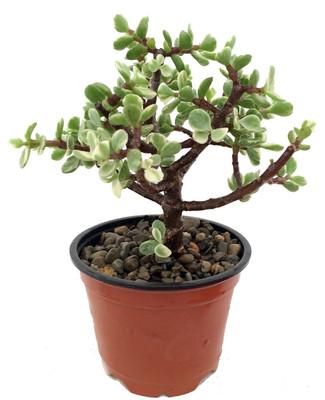 "Spekboom Miracle Plant - Creme & Green Mini Jade - Portulacaria afra var -4"" Pot"
