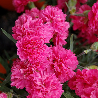Early Bird Sherbert Dianthus - Very Fragrant Double Pink Blossoms - Quart Pot