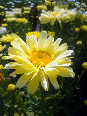 Spellbook Lumos Shasta Daisy - Leucanthemum - Quart  Pot - Summer Blooming