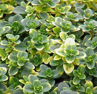 "Doone Valley Thyme Plant - Thymus - Lemon Scent - Live Plant - 3"" Pot"
