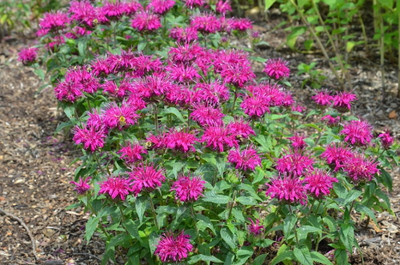 Balmy Purple Bee Balm - Monarda - Compact - Gallon Pot