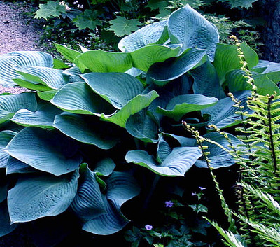 Elegans Hosta - Huge Leaves - White Flowers - Quart Pot