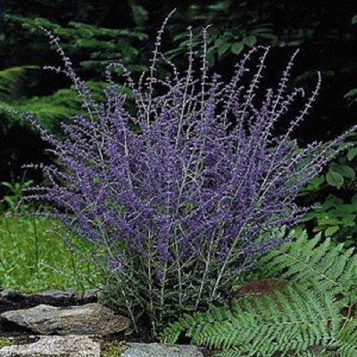 Russian Sage Plant - Perovskia atriplicifolia - HARDY - Live Plant - Quart Pot