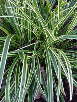 Ice Dance Japanese Sedge Grass - Carex morrowii - Quart Pot