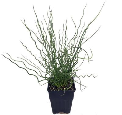 """Big Twister Plant - Juncus filiformis- Indoors/Out - 4"""" Pot"""