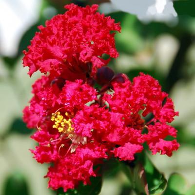 "Red Rocket Crape Myrtle Tree - Red Flowers - 4"" pot"