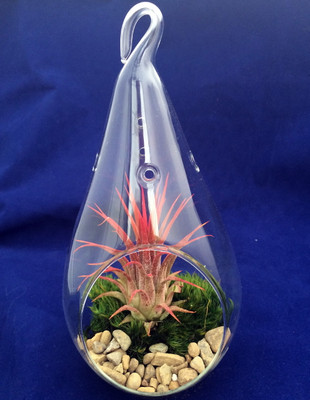 "Air Plant Tillandsia Teardrop Terrarium Kit , Pebbles & Mood Moss -4"" x 7"" Glass"