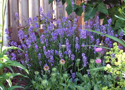 Provence French Lavender  - Very Fragrant - Live Plant - Quart Pot