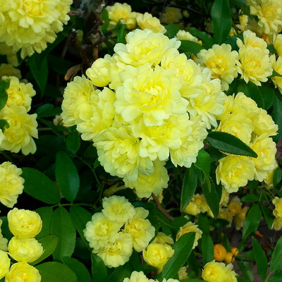 "Yellow Lady Banks™ Chinese  Climbing Rose - 4"" Pot - Fragrant Flowers"