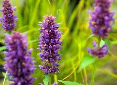 Blue Boa Hummingbird Mint - Agastache - Anise Hyssop - Hardy - Gallon Pot