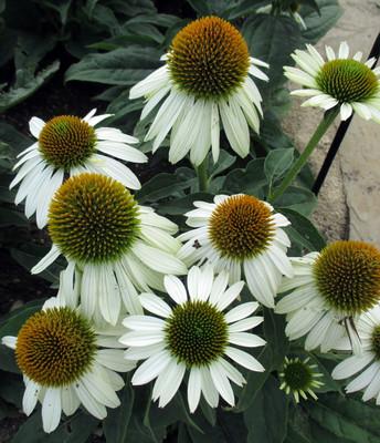 Blanco Sombrero™ Coneflower Perennial - Echinacea - Gallon Pot