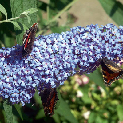 BUZZ™ Sky Blue Butterfly Bush-Compact/Short- Buddleia- Heavy Blooms- Gallon Pot