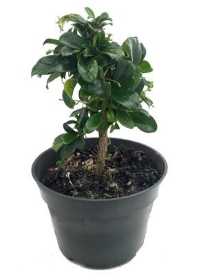 "Fukien Tea Bonsai Tree - Carmona - 4"" Pot - Indoor Houseplant"