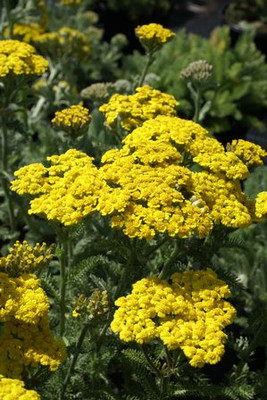 Coronation Gold Yarrow Perennial - Achillea - Quart Pot