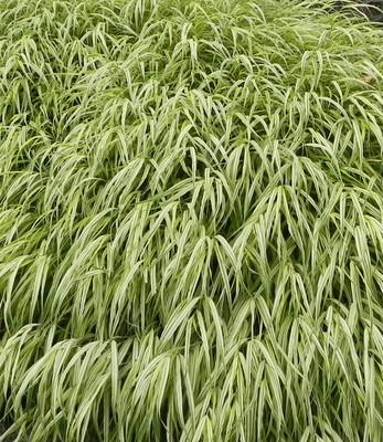 """Green Japanese Forest Grass - Hakonechloa macra- Shade Lover - 4"""" Pot"""
