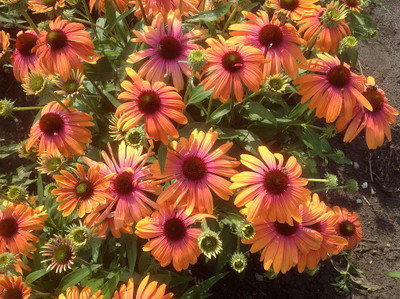 Butterfly™ Rainbow Marcella Coneflower - Echinacea - Fragrant - Gallon Pot