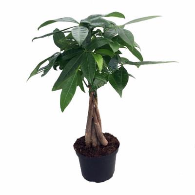 "Braided Money Tree Plant - Pachira aquatica - 6"" Pot - Easy to Grow House Plant"