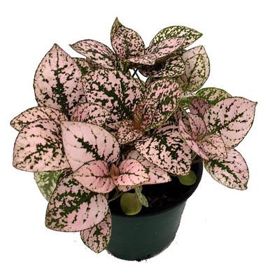 "Pink Splash Polka Dot Plant - Hypoestes - 3.5"" Pot - Colorful House Plant"