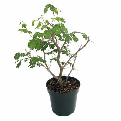 """Brazilian Rain Tree - Pithecellobium - Living Weatherman/Easy to Grow - 4"""" Pot"""