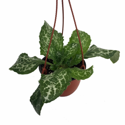 "Vertigo Asian Violet - Primulina - 6"" Hanging Pot"