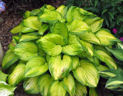 Stained Glass Hosta - HOSTA of the YEAR 2006! - Live Plant - Quart Pot