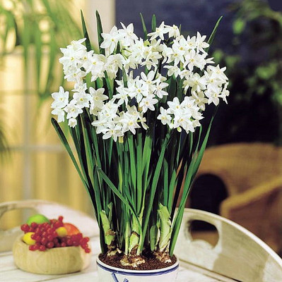 Delft Ceramic Bowl with Paperwhite Narcissus Bulbs Indoor Growing Kit - FRAGRANT