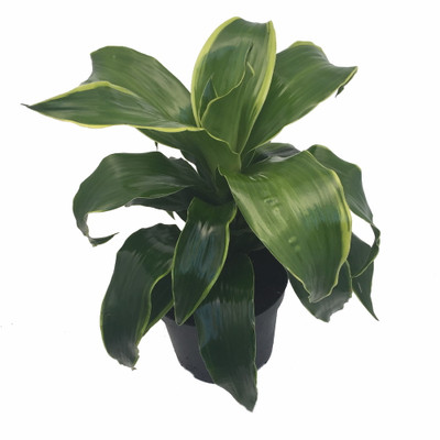 "Dorado Dragon Tree - Pleomele - Dracaena -6"" Pot-Easy to Grow House Plant"