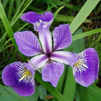 Blue Flag Iris Perennial - Iris versicolor - Gallon Pot