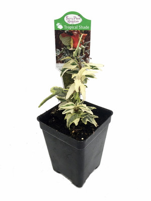 "Mini Easter English Ivy - 2.5"" Pot - Terrarium/Fairy Garden/House Plant"
