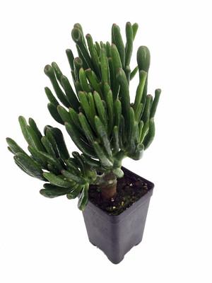 "Totally Tubular Jade Plant - Crassula - 2.5"" Pot - Terrarium/Fairy Garden"