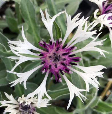 Amethyst in Snow Mountain Bluet - Centaurea montana - Live Plant -Quart Pot