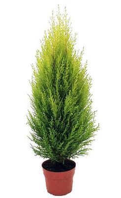 "Lemon Scented Goldcrest Cypress Tree - Indoors/Out - 6"" Pot"