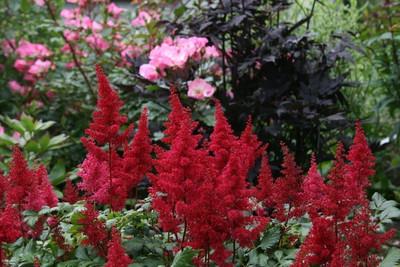 Fanal Astilbe - Dark Red Plumes - Live Plant - Quart Pot