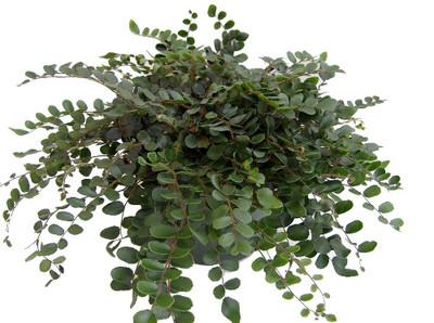 "Hirt's Gardens® Button Fern - Pellaea rotundifolia - Unusual/Easy to Grow-4"" Pot"