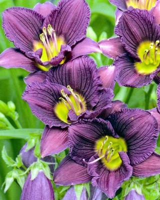 Little Grapette Daylily - Hemerocallis - Stunning -  Live Plant - Quart Pot