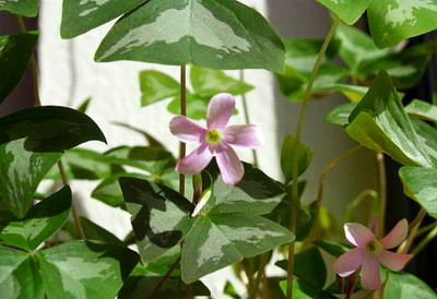 Silver Streak Fanny Shamrock 10 Bulbs - Large Pink/White Flowers - Edible-Oxalis