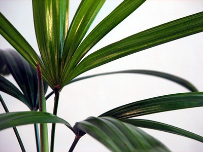"Broadleaf Lady Palm - Rhapis excelsa - Easy to Grow House Plant - 4"" Pot"
