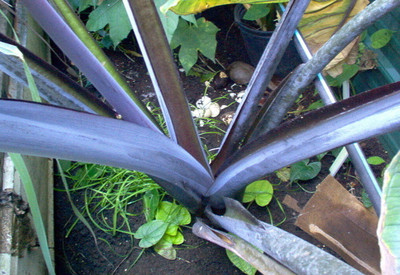 "Black Malanga - Blue Taro - Xanthosoma violaceum - Ornamental & Edible - 2.5"" Pot"